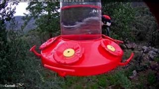 Download Acorn Woodpecker Sneaks Some Nectar - August 31, 2016 Video