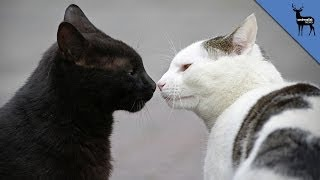 Download How Do Cats Communicate? Video