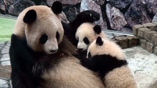Download Panda Twins with their Mom Video