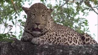 Download Safari Live : Tingana as seen with Byron on drive this afternoon Nov 28, 2016 Video
