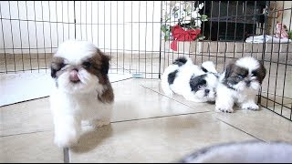 Download 3 Adorable Shih Tzu Puppies | So playful Video