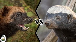 Download WOLVERINE VS HONEY BADGER - Who Would Win? Video