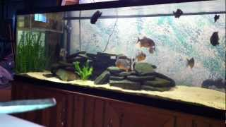 Download Piranha eating tilapia for the first time Video