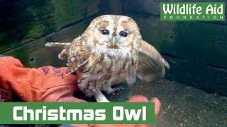 Download Christmas dinner with a surprise guest, a Tawny owl! Video