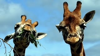 Download Giraffes are under threat of extinction Video