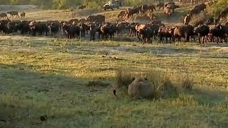 Download Big herd of buffalo turn on two lions who are hunting them. Video