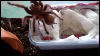 Download Unpacking a Grammostola rosea (rcf) Tarantula and she tries to run! Video