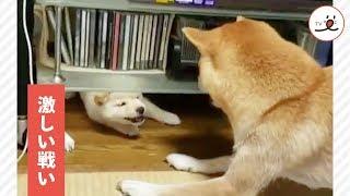 Download 厳しい母😡 ズルい娘😝 柴犬の母娘の、戦いのゆくえは…💥【PECO TV】 Video
