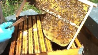 Download Piégeage du varroa dans le couvain de mâles. Video