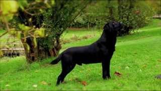 Download Black Labrador working gundog Video