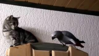 Download Funny Parrot v/s Cat !! Video
