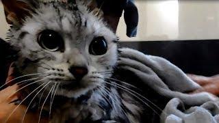 Download お風呂から逃げ出した猫… ドアノブに手が届かなーい!空しく響く悲痛な叫び… -Cat Just Doesn't Want to Bath Video