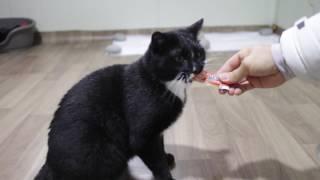 Download [cat][코숏][고양이][턱시도] 나타샤의 짜요 먹방 Video