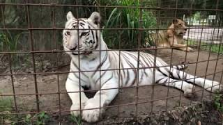 Download Morning Walkabout with Lions, Tigers, Cougars, Leopards and more! Video
