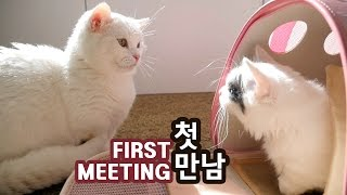 Download 고양이 꼬부기와 쵸비의 첫 만남 FIRST MEETING OF TWO CATS Video