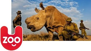Download Sudan: The Last Northern White Rhino in the World Video