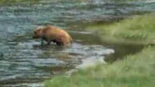 Download Baby Bison Video