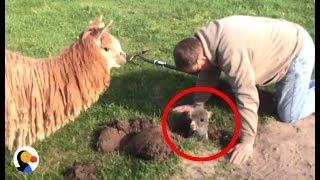 Download Baby Alpaca Stuck in Hole Can't Wait To Be With Mom Again | The Dodo Video