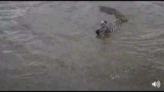 Download Safari Live Face Book Live : Mara River Crossing Zebra vs Crocodiles July 07, 2017 Video