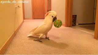 Download Gotcha LOVES his new ball 😄 Video
