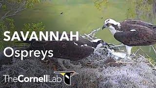 Download Savannah Ospreys Multicam View Video