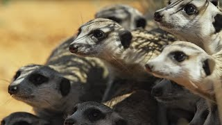 Download Meerkat Gang vs. Robot Cobra   Spy In The Wild   BBC Earth Video