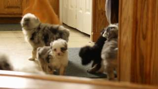 Download Mini Aussiedoodle Puppies For Sale Video
