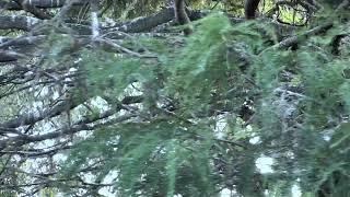 Download Alligator Swamp and Spoonbills Cam 09-15-2018 14:50:46 - 15:50:47 Video