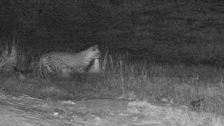 Download Djuma: Hosana catches another Duiker LIVE on cam - 01:11 - 07/31/18 Video
