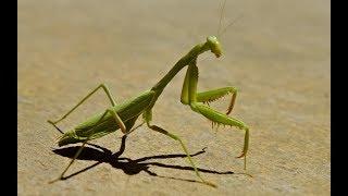 Download Praying mantis vs honey bees. Big fight. Video
