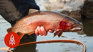 Download Tracking Trout With the Fish Whisperer | That's Amazing Video