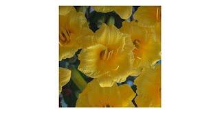 Download Moss Mountain Farm ″Stella de Oro″ 25piece Day Lily Coll... Video