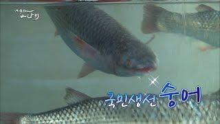 Download [어영차바다야]백가지 물고기 중에서도 으뜸! 수어(숭어)를 아시나요? Video