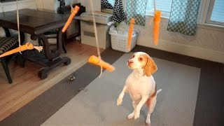 Download Dog vs. Flying Carrots: Funny Dog Maymo Video