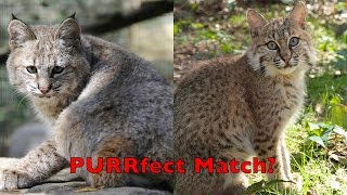 Download Baby Bobcats A PURRfect Match? Video