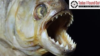 Download Could Piranhas Really Turn You Into a Skeleton in a Matter of Minutes? Video