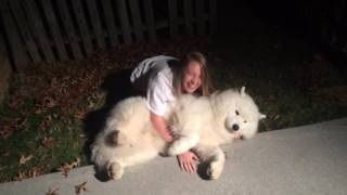 Download Stubborn Samoyed-Trying to get Cody in from the cold at bedtime. Video