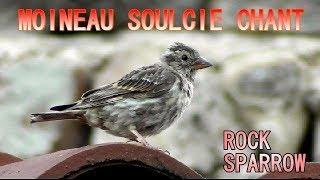 Download CHANT DU MOINEAU SOULCIE - ROCK SPARROW Song Video
