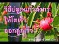 Download วิธีปลูกแก้วมังกร Dragon fruit ให้โตเร็ว ออกลูกเร็วที่สุด สวนอรุณธงชัยแก้วมังกร Video