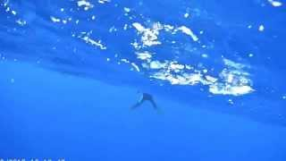 Download wild dolphin stuck on a drifting hook set… Video