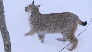 Download Incredible Jumping Lynx - Deadly 60 - Series 2 - BBC Video