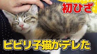 Download 【猫】ビビリな子猫がはじめて膝上で甘えてくれた日:4日目②【kitten】 Video