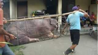 Download 2012.9.4 豚の出荷 Video
