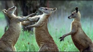 Download Kangaroos Fight For A Mate | Life Of Mammals | BBC Earth Video