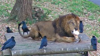 Download ライオンの尻尾にイタズラするカラスCrow with mischief as a Lion Video
