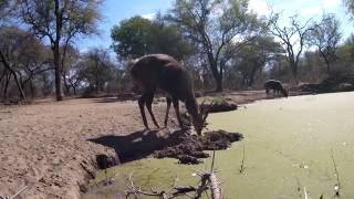 Download Bushbuck Mercy Kill Video