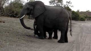 Download Baby elephant sneezes and scares himself. Video