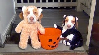 Download Dogs Go Trick or Treating on Halloween: Cute Dog Maymo & Puppy Penny Video