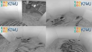 Download Tiger Birth Cam 1 #TopZooKTWU Video