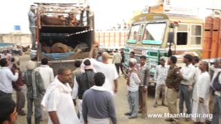 Download 7 Trucks (490 Cows) Rescued by Police in Bulandshehar...(PART-2) Video